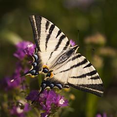 Petit bonheur **--- ° (Titole) Tags: flambé papillon butterfly limoniumsinuatum squareformat titole nicolefaton purple wings thechallengefactory