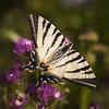 Petit bonheur ** (Titole) Tags: flambé papillon butterfly limoniumsinuatum squareformat titole nicolefaton purple wings thechallengefactory