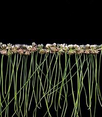 58489.01 Trifolium repens (horticultural art) Tags: horticulturalart trifoliumrepens trifolium clover whiteclover line flowers