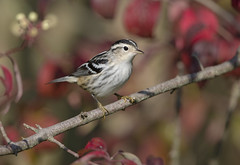 Black and White Warbler Maumee Bay St Park OH _E1U1620 Sep 2017 (www.sabrewingtours.com) Tags: warbler fall plumage ohio woodland brian zwiebel bz photo photography sabrewing nature tours snt blackandwhitewarbler black white fallcolors