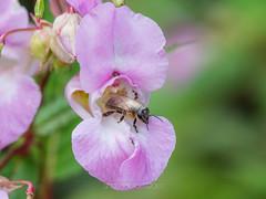 Pollination (shaftina©tion) Tags: apis apismellifera bee european flower honey honeybee impatiensglandulifera pink purple western himalayanbalsam honeybearing insect invasive mellifera nonnative pollinate pollinating pollination
