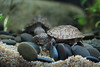 IMG_9756 (Laurent Lebois ©) Tags: laurentlebois france reptile rettile reptil рептилия tortue turtle tortoise tortuga tartaruga schildkröte черепаха chelonia sternotherus minor terrariophilie razorbackmuskturtle cinosterne