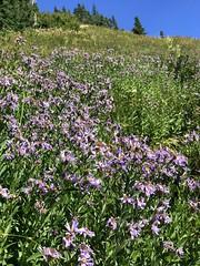 IMG_4494 (Bites N Sites) Tags: seattle washington mount rainier wild flowers