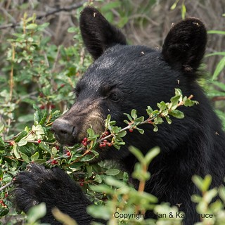 A feast of Canadian Serviceberry for the Black Bear