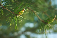 Evergreen (natural illusions) Tags: spring april pine pinus vintagelens snow bokeh pentax k200d rawtherapee imagemagick plant green slovenia europe lb1415 allrightsreserved cone conifer goldenhour evergreen sunlight manualfocus flora interesting tree wow pomlad