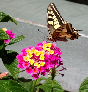 PERPIGNAN GARDEN BUTTERFLY AND LANTANA FLOWER