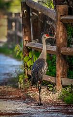Cross-Legged Crane (tclaud2002) Tags: crane sandhillcrane bird wildlife nature mothernature animal cypresscreek naturalarea cypresscreeknaturalarea jupiter florida usa