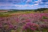 Rockford Common (Andy Lovelock) Tags: rockfordcommon ibsley rockford northerncommons newforestnationalpark newforest heather wildflowers hills sky bluesky clouds pink green blue heathland brush andy andylovelock andylovelockphotography