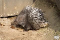Stachelschweinbaby (dibabo76) Tags: stachelschwein zoo neuwied zooneuwied orte