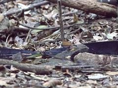 Rendadinho-do-xingu (Willisornis vidua) - Xingu Scale-backed Antbird (Carlos Grupilo) Tags: carlos grupilo canon 7dmkii 7d ef100400 l is usm ii cristalino alta floresta mato grosso brasil bird watching birds xingu scalebacked antbird