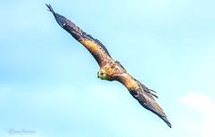 Captive Red Kite (Eiona R. [Busy over the Weekend]) Tags: llanarthney wales unitedkingdom gb britishbirdsofpreycentre nationalbotanicgardensofwales wfc