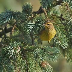 Eastern Palm Warbler, Gisland Farm (Bill Bunn) Tags: palmwarbler easternpalmwarbler falmouth maine