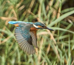 Kingfisher just after taking off to fish. (Escipió) Tags: kingfisher flying wings blue blauet sebes tarragona wildlife nature beautiful