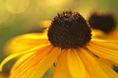 hope (joy.jordan) Tags: blackeyedsusan flower texture pollen light sunset bokeh nature backyard