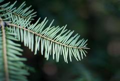 DSC_2204 (devoutly_evasive) Tags: macro plant bokeh green evergreen needles confier stem branch forest tree northern northwestern ontario thunderbay centennialpark hiking trail blur