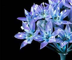 Allium Starburst (Don Komarechka) Tags: onion wild flower uv uvivf ultraviolet fluorescence fluorescent macro nature glowing blue purple bouquet science physics