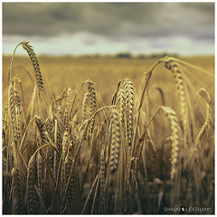 √ Handheld: The Field (Shaun S. Leatham) Tags: field wheat brown sony 1650 yorkshire england a77 dof landscape vintage uk square