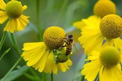 Take a seat (hehaden) Tags: flower yellow hellenium bee garden sussexprairies sussexprairiegarden henfield sussex sel90m28g