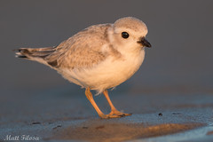 Piping Plover Teen (Matt F.) Tags: piping plover bird shorebird nature wildlife pipingplover gb