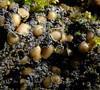 Protopannaria pezizoides (davidgenneygroups) Tags: uk scotland lichen protopannariapezizoides protopannaria pezizoides fertile bryicolous