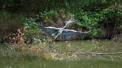 a Heron (1) : takeoff (Franck Zumella) Tags: heron great bird oiseau bif flying voler volant ciel sky lake lac green magestic majestueux light lumière big grand