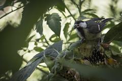 Comiendo (seguicollar) Tags: carbonero pájaro ave comiendo pipa girasol virginiaseguí nikond7200 jardínbotánicomadrid plantas hojas leaf leaves tree verdegreen árbol ramas branch