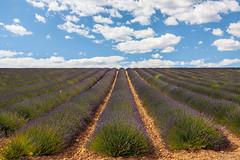 Champs de lavande - Plateau de Valensole (France) (Philippe Larosa) Tags: champs lavande nature fleurs flower fields lavander valensole provence