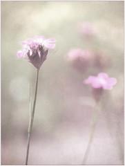 (melolou) Tags: texture flower pastel softness