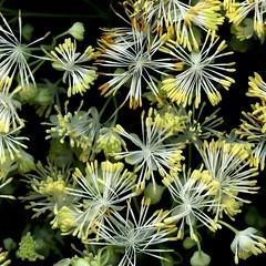 58484.05 Thalictrum polygamum (horticultural art) Tags: horticulturalart thalictrumpolygamum thalictrum meadowrue flowers closeup macro