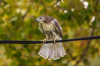 Juvenile Red-tailed Hawk Balancing Act