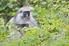 zanzibar-2017_DSC1536b-new3 (Marco Pozzi photographer (970k+ views, thanks)) Tags: redcolobus monkey forest jozani jozaniforestreserve tanzania africa marcopozziphotographer marcopozzi pozzi specanimal