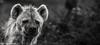 Food time? (Dave_G_Stewart) Tags: colchesterzoo bw canon eos5d mkiii canon100400 animal wildlife eyes gaze sad ponder camera grey captivity zoo essex dof hyena