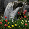 Tulip Tumble (arbyreed) Tags: arbyreed water waterfall tulips flowers spring