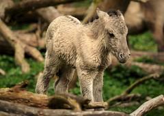 Konikhorse foal