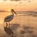 Pelicano, Senegal