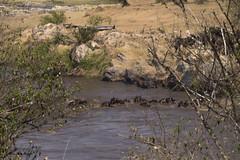 Migracao GNU - Atravessia do Rio Mara 16 (Joao Pena Rebelo) Tags: tanzania gnus wildebeest migration safari serengeti wildebeests marariver