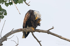 Even Bald Eagles have to scratch