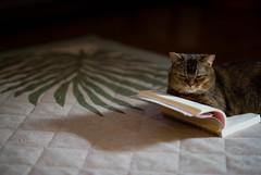2017.8.29: elisa | book (Nazra Zahri) Tags: munchkin cat home okayama japan summer 2017 raw pet sitting book carpet