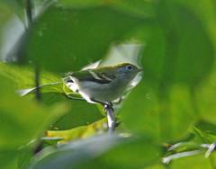 Chestnut-sided warbler (carpingdiem) Tags: bird indianapolis summer