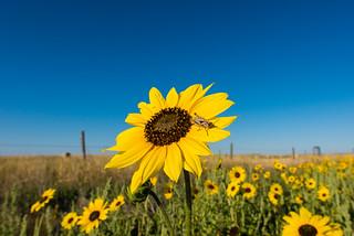 1708_0670 Prairie Sunflower with Grasshopper