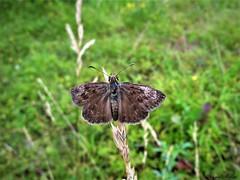 Butterfly 1429 (+780000 views!) Tags: butterfly borboleta farfalla mariposa papillon schmetterling فراشة