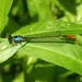 Painted Damsel (d_taron) Tags: unitedstates arizona dragonflies odonata zygoptera coenagrionidae hesperagrion hesperagrionheterodoxum