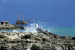 In posa (Gina.Di) Tags: vieste puglia gargano mareadriatico italia trabucco gabbiano natura mare italy