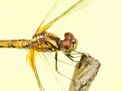The common darter (tomquah) Tags: hww dragonfly dragonflies globewanderer commondarter canonef100mmf28 canoneos5d nature tomquah marco