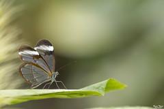GRETA OTO (Bruno. Thomé) Tags: pentaxk1 smcda300mmf4 papillon greta oto macro proxy nature france vannes morbihan bretagne