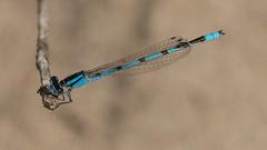 Blue Damselfly-01114 (Paul McGoveran) Tags: damselfly dragonfly longpoint sigma180mm sonya99 macro portrowan ontario canada ca