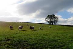 tasty green fields in the sun (akaceweha) Tags: green grün fields felder sun sonne wolken clouds nature natur sheep schafe tiere animals