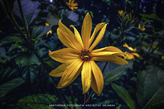 Macro Album - Yellow Flower (krzysztofdejneka) Tags: flower flowers kwiat kwiaty białystok podlasie podlaskie poland polska garden macro makro fujifilm x10