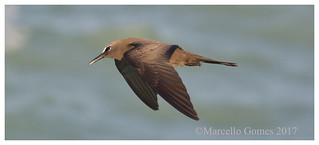 Brown Noddy (Anous stolidus) BRNO - The New Rare Kid off a Jetty