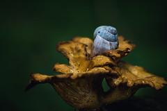 home (Timo Nennen) Tags: pilz pilze mushroom mushrooms schnecke schneckenhaus snail nature natur wald forest grün macro makro herbst autumn